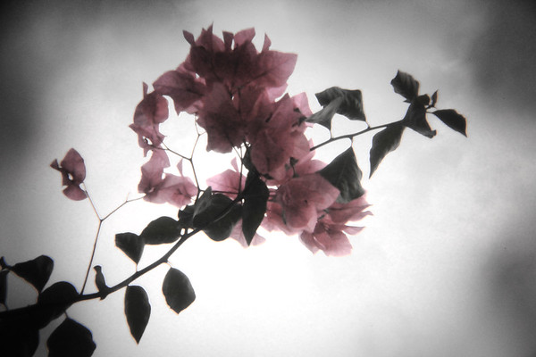 Bougainvillea Through Holga