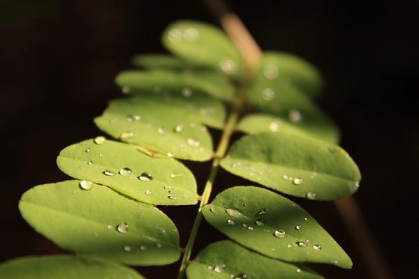 Phyllanthus Urinaria (Chamber Bitter)