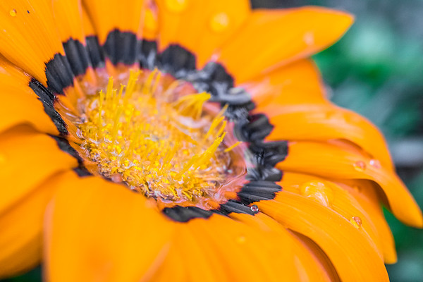 Orange African Daisy