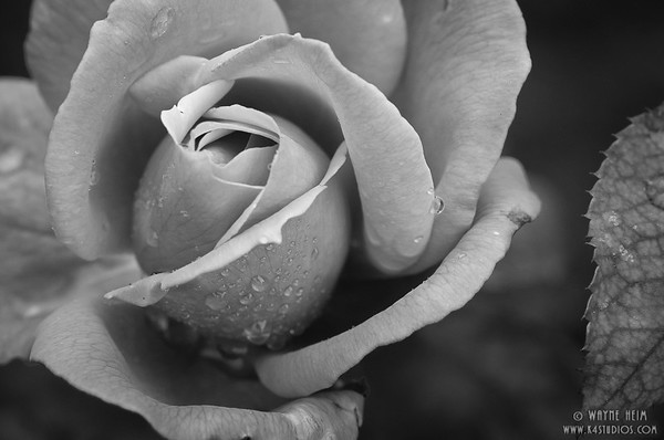 Dew Kissed  --Black & white Photography by Wayne Heim
