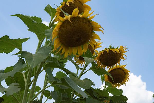 Sunflowers peering down