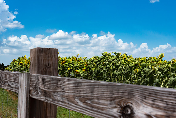 Sunflower field over a wooden fence