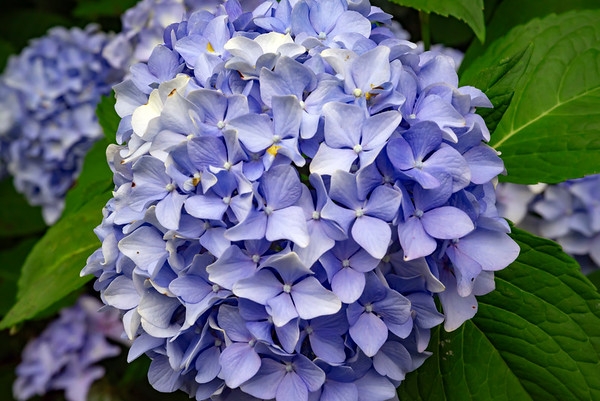 Beautiful Lavender Hydrangeas