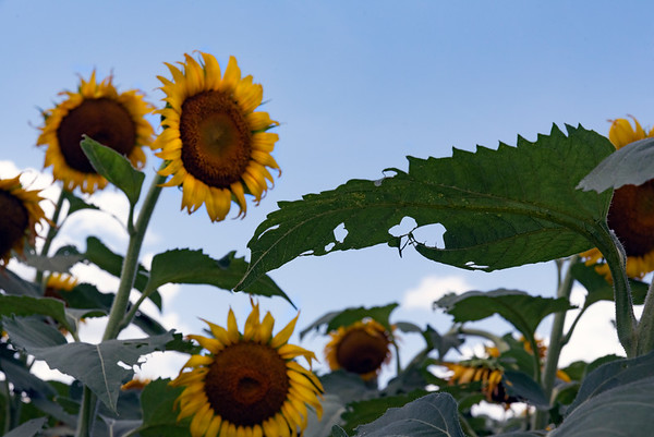 Sunflowers dancing in field