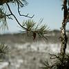 12 |  Pine Cone