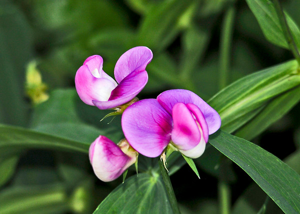 """<div class=""""jaDesc""""> <h4> Sweet Pea Vine Bloom - June 23, 2014 </h4> <p>Sweet Pea vines keep volunteering in our backyard.  This one is growing right in the middle of my Oregano herb plant.</p> </div>"""