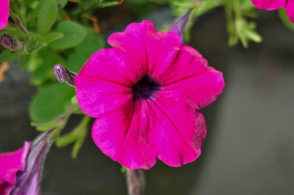 """<div class=""""jaDesc""""> <h4> Purple Wave Petunia - July 27, 2014</h4> <p> Every year I buy at least a dozen of these Purple Wave Petunias.  I love their dazzling color; and they are such prolific bloomers.</p> </div>"""