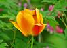 "<div class=""jaDesc""> <h4>Tulip - Yellow, Orange &amp; Red - May 7, 2015</h4> <p></p> </div>"