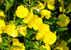 """<div class=""""jaDesc""""> <h4> Evening Primrose Suncups - June 30, 2014</h4> <p>These dazzling yellow flowers are blooming in several places around my flower gardens.  They brighten my mornings since I see them every day as I am feeding the birds.</p> </div>"""