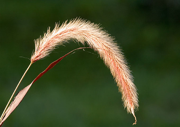 """<div class=""""jaDesc""""> <h4> Red Fountain Grass - September 2006 </h4> <p> I have about a dozen different ornamental grasses around my flower gardens. Red Fountain Grass is my favorite.</p> </div>"""