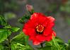 "<div class=""jaDesc""> <h4> Red Hibiscus - September 10, 2014</h4> <p> </p> </div>"