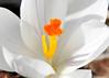 """<div class=""""jaDesc""""> <h4>White Crocus - April 13, 2014</h4> <p></p> </div>"""