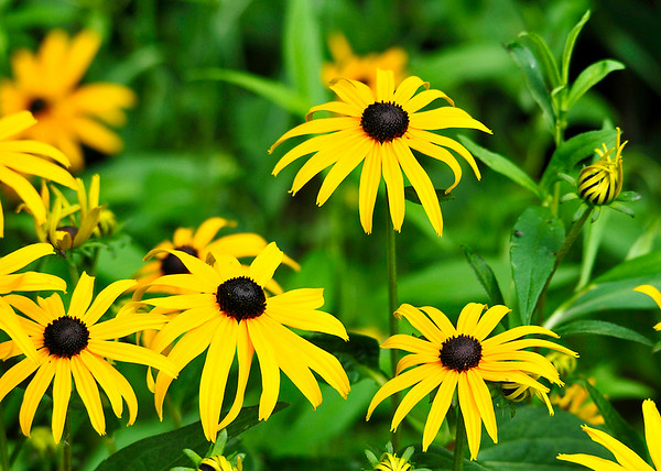 """<div class=""""jaDesc""""> <h4>Black-eyed Susans - July 27, 2014</h4> <p>We started with one small clump of these Black-eyed Susans and now have hundreds all around the backyard gardens.  I leave most of them; they are so bright and cheery.</p> </div>"""