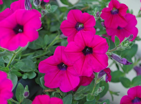 "<div class=""jaDesc""> <h4> Purple Wave Petunia - June 2008  </h4> </div>"