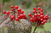 """<div class=""""jaDesc""""> <h4> Highbush Cranberries - September 2004 </h4> <p> I planted highbush cranberry plants to attract the birds.  They have been a big hit with many species including redpolls, catbirds, cedar waxwings, robins and finches.</p> </div>"""