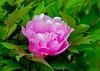 """<div class=""""jaDesc""""> <h4>Pink Peony - May 30, 2015</h4> <p></p> </div>"""