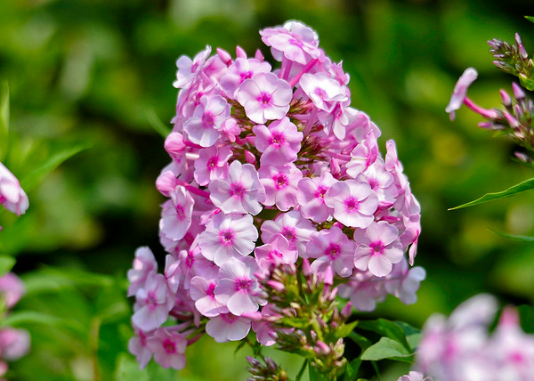 """<div class=""""jaDesc""""> <h4>Pink Phlox - August 10, 2014</h4> <p>This is my front yard garden favorite.  I got one of these plants from a friend 5 years ago.  They are spreading; now have about 15.</p> </div>"""