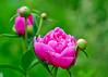 "<div class=""jaDesc""> <h4>Dark Pink Peonies- June 15, 2014</h4> <p> The Peonies are starting to bloom.  This dark pink color is my favorite.</p> </div>"