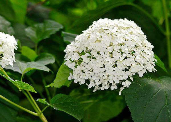 "<div class=""jaDesc""> <h4>White Hydrangea Bloom - July 9, 2014</h4> <p> </p> </div>"