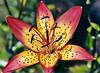 "<div class=""jaDesc""> <h4> Varigated Tiger Lily - July 2004 </h4> </div>"
