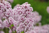 """<div class=""""jaDesc""""> <h4> Dwarf Lilac - June 4, 2014</h4> <p> My favorite backyard spring aroma is this dwarf lilac bush.  It is on the path between our house and barn, so I get to smell it at least four times per day.  I can smell it 10 feet away.</p> </div>"""