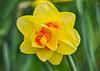 "<div class=""jaDesc""> <h4>Orange &amp; Yellow Daffodil - April 28, 2015</h4> <p></p> </div>"