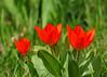 "<div class=""jaDesc""> <h4>Little Red Tulips - April 28, 2015</h4> <p></p> </div>"