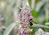 """<div class=""""jaDesc""""> <h4> Bumblebee on Lamb's Ears - June 30, 2014</h4> <p>We have lots of volunteer Lamb's Ears around throughout our flower gardens.  the Bumblebees spend all day on them moving from blossom to blossom.</p> </div>"""