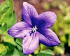 """<div class=""""jaDesc""""> <h4> Balloon Flower - July 2004  </h4> <p> Several of these plants have produced a multitude of blooms.  They make a nice colorful addition to our flower beds.</p> </div>"""