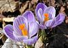 "<div class=""jaDesc""> <h4>Lavender & White Crocus - April 13, 2014</h4> <p></p> </div>"