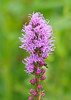 """<div class=""""jaDesc""""> <h4>Liatris - July 31, 2014</h4> <p>I like the way this pretty Liatris bloom opens from the top of the the stalk down.</p> </div>"""