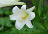 """<div class=""""jaDesc""""> <h4>White Lily - July 6, 2014</h4> <p>A White Lily growing in the partial shade of a sprawling locust tree. </p> </div>"""