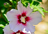 """<div class=""""jaDesc""""> <h4> Hollyhock - Red and White - July 6, 2014</h4> <p></p> </div>"""