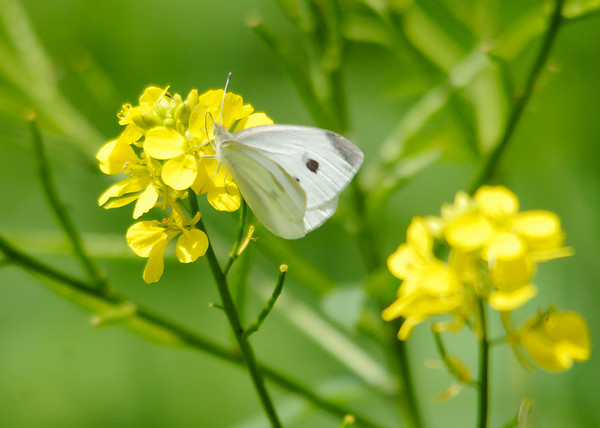 """<div class=""""jaDesc""""> <h4>White Millet with Cabbage White Butterfly  - June 26, 2015</h4> <p></p> </div>"""