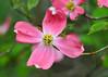 "<div class=""jaDesc""> <h4>Pink Dogwood Bloom - May 6, 2015</h4> <p></p> </div>"