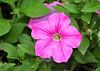 "<div class=""jaDesc""> <h4> Pink Petunia - August 20, 2014</h4> <p> </p> </div>"