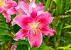 """<div class=""""jaDesc""""> <h4>Dark Pink Daylily - July 31, 2014</h4> <p>This was a new addition to our backyard 2 years ago, I'm loving it.</p> </div>"""