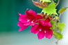 """<div class=""""jaDesc""""> <h4>Red Wine Lofos - July 31, 2014</h4> <p>I haven't been able to catch the Hummingbird on this Red Wine Lofos vine yet, but they do love it.  I have two of these beautiful vines in hanging baskets. </p> </div>"""