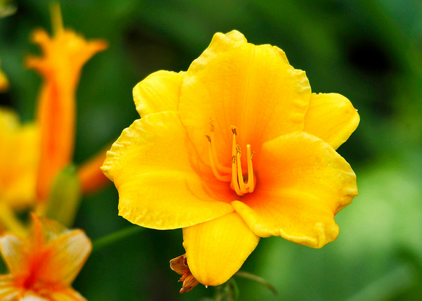 """<div class=""""jaDesc""""> <h4> D'Oro Lily - June 30, 2014</h4> <p>I keep propagating this beauties around the yard; lots of bright color this time of year. </p> </div>"""