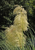 """<div class=""""jaDesc""""> <h4> Pampas Grass in Afternoon Sun - September 21, 2010 </h4> <p> My relative's neighbor in Wilmington, DE had this tall Pampas Grass growing in their yard.  The afternoon sun was shining directly on it.</p> </div>"""