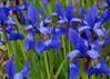 "<div class=""jaDesc""> <h4>Siberian Iris - Caesar's Brother  - June 5, 2015</h4> <p></p> </div>"