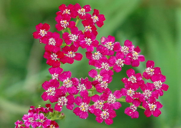 """<div class=""""jaDesc""""> <h4> Purple Yarrow - September 2004 </h4> <p> Of all the different yarrow colors, this one is my favorite. It is a prolific spreader, so after starting with one small plant - we now have lots of it.</p> </div>"""