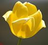"""<div class=""""jaDesc""""> <h4> Yellow Tulip - April 2006 </h4> </div>"""