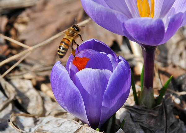 """<div class=""""jaDesc""""> <h4>Honey Bee on Purple Crocus - April 13, 2014</h4> <p>A Honey Bee flew into the frame as I was taking this photo.</p> </div>"""