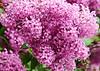 "<div class=""jaDesc""> <h4>Pink Lilac Close-up - May 6, 2015</h4> <p>Lima Estates - Lima, PA</p> </div>"