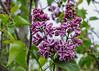 "<div class=""jaDesc""> <h4>Purple &amp; White Lilac - May 15, 2015</h4> <p></p> </div>"