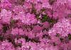 """<div class=""""jaDesc""""> <h4>Light Pink Azalea - May 10, 2015</h4> <p></p> </div>"""