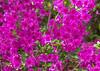 "<div class=""jaDesc""> <h4>Dark Pink Azalea - May 10, 2015</h4> <p></p> </div>"