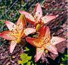 "<div class=""jaDesc""> <h4> Varigated Tiger Lily - July 2002 </h4> </div>"