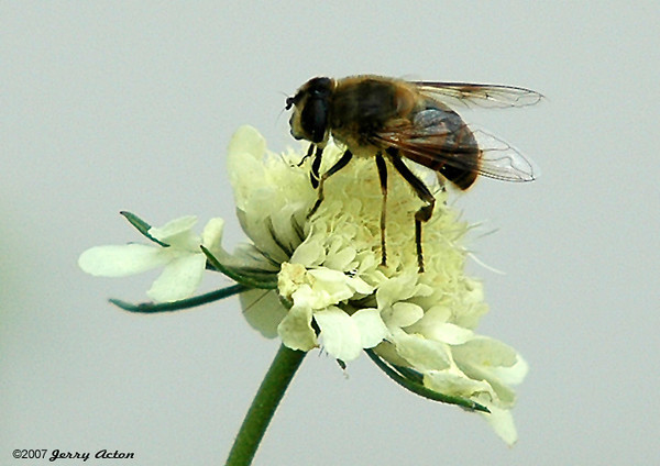 """<div class=""""jaDesc""""> <h4> Hover Fly on Scabiosa - June 2006</h4> </div>"""